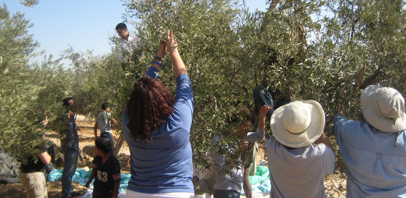 Holy-Land-Trust-olive-harvest-1.jpg
